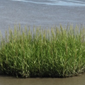 Spartina anglica in Natura 2000 sites