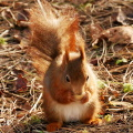 Red squirrel, © Copyright David Dixon