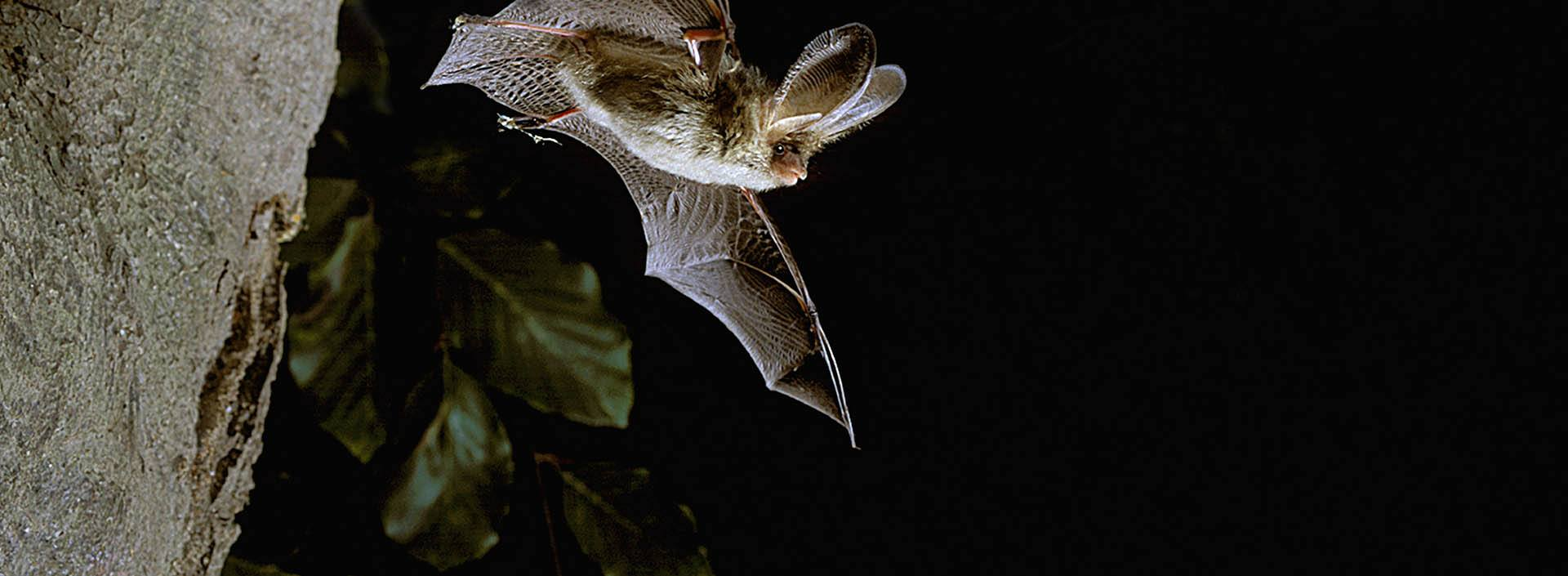 Slide 5 - Bat in flight - National bat monitoring programme recording website and database